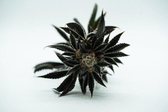 Cannabis Oil VS Dry Flower (Hawaiian Haze): Comparing CBDs Many Forms