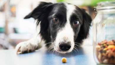 Why A Dog Nutrition In A Well Balanced Diet Is Critical