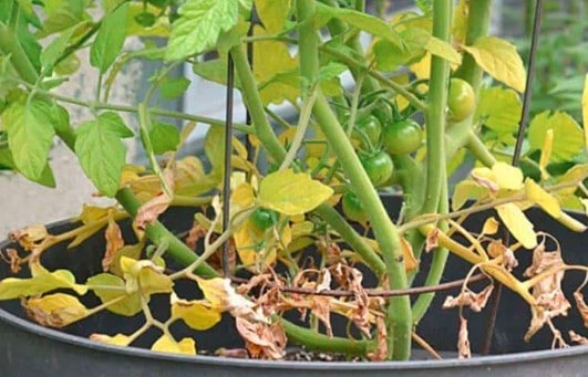 Reasons Your Tomato Leaves Are Turning Yellow & How To Fix It